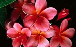 Plumeria-flowers