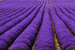 (X)Color2-Lavender Fields UK