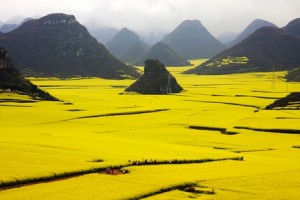 (X)Color6-Canola Fower Field China