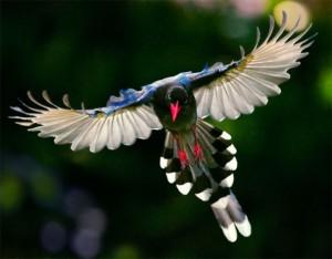 (X)(X)Formosan Magpie