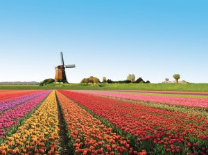 (X)color3-tulip fields, netherlands