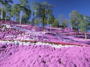 (X)color5-mt.fuji, japan- Pink moss lines the base of Mount Fuji, creating a surreal contrast with surrounding trees