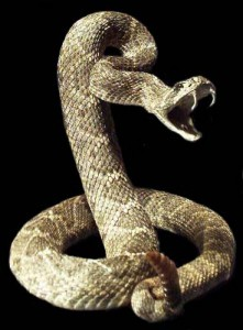 A Rattlesnake, if Cornered will become so angry it will bite itself. That is exactly what the harboring of hate and resentment against others is — a biting of oneself. We think we are harming others in holding these spites and hates, but the deeper harm is to ourselves.