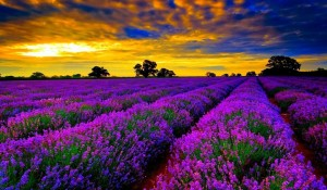 color1- Lavender Fields, Provence, France