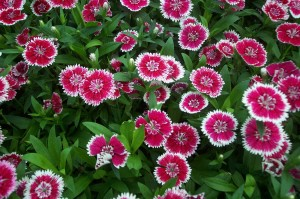dianthus_bi-color