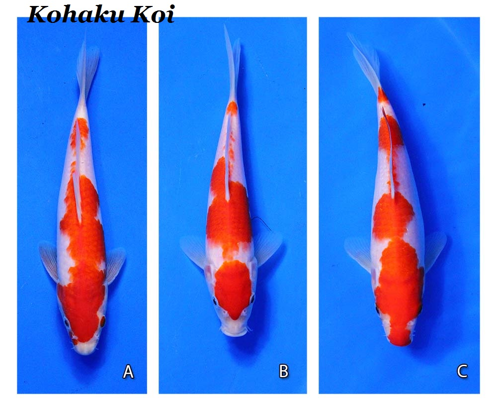 Kohaku meaning e b for Types of koi fish and meanings