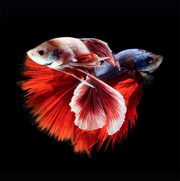 BETTA FISH, OR SIAMESE FIGHTING FISH:
