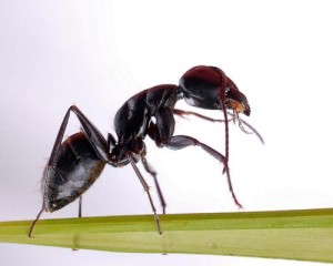 Chinese Back Mountain Ant