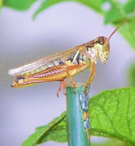2-Grasshopper