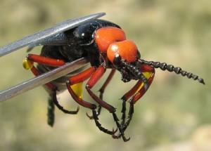 3-Blister-Beetle