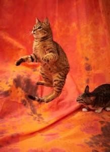 Jumping-Cat-15