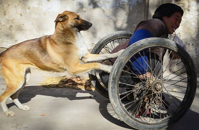 Inspiring dog pushes owner in a wheelchair