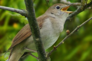 nightingale-sitting-on-tree-branch-420x280