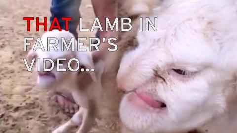 Lamb born with face like an 'angry old man' terrifies village in Russia