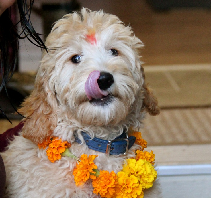 Kathmandu, Nepal: Pictures of Tihar festival, or Diwali, during which Hindus worship cows
