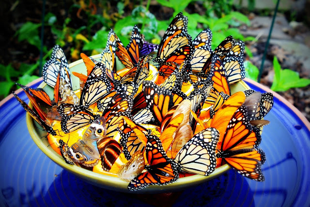 Pictures of Wintering Butterflies in Mexico and Some Butterflies Of Other Countries