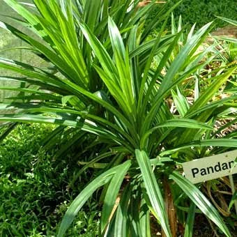 Pandan Leaves Health Benefits and Pandan Leaf in Cook Rice