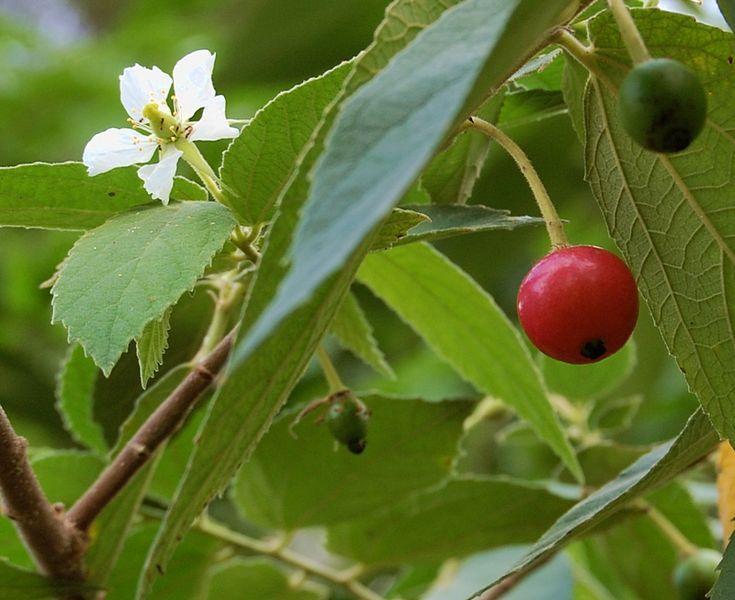 Philippine Medicinal Herbs:  Aratiles / Muntingia calabura Linn / Cherry tree/Kerson Fruit