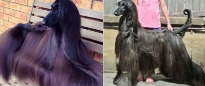 Animal: The Pretty Long Haired Afghan Hound Dogs and The Least Intelligent, Hard to Train Dogs