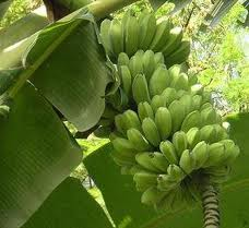 "HEALTH: "" SABA"" or Cardava Banana in English"