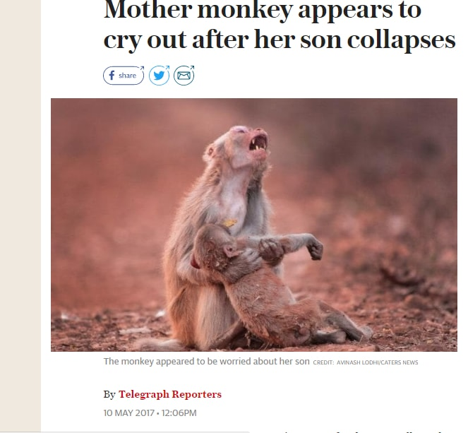 VIRAL NATURE: Heartbreaking photo of monkey 'crying' after her child collapsed