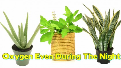 HEALTH EDUCATION: 11Plants Which Give Out Oxygen Even During The Night